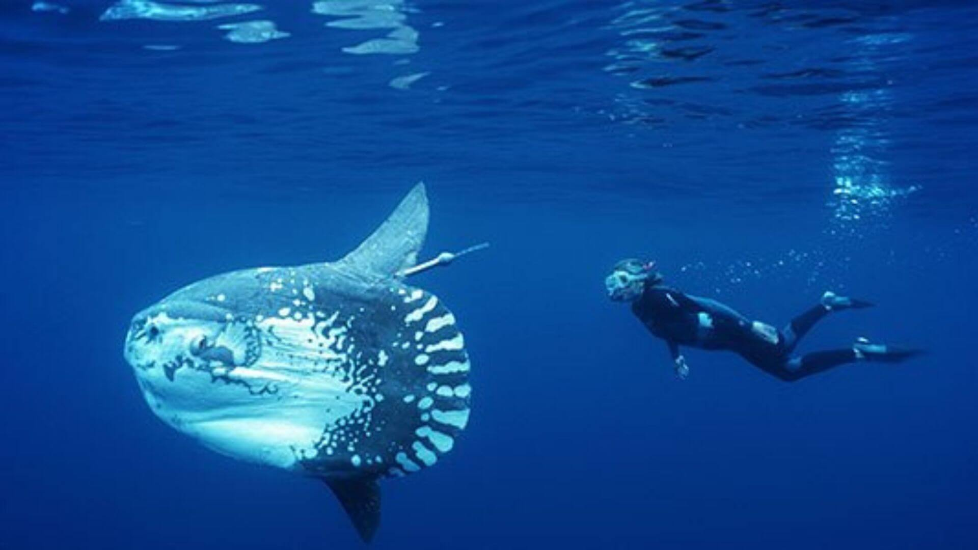 COME DIVE WITH THE MOLA MOLA - NUSA LEMBONGAN