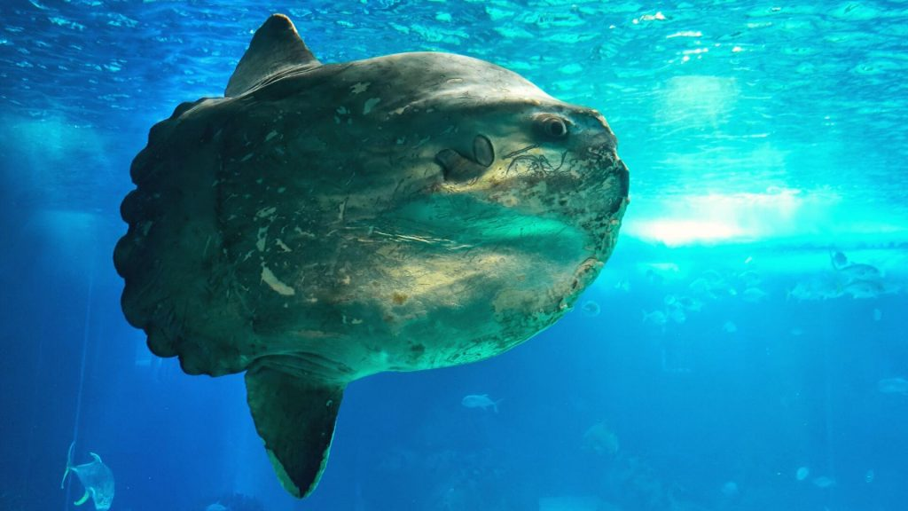 Come dive with the Mola alexandrini formerly identified as Mola mola